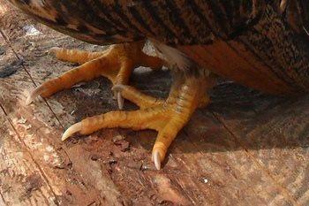 kokoshi trun